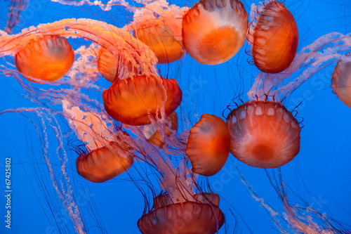 Fotografie, Obraz  Sea Nettle Jellyfish background