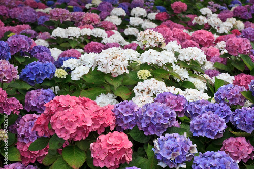 Foto op Plexiglas Hydrangea Hortensien