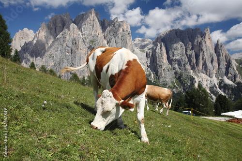 Photo  mucca al pascolo valle di fassa dolomiti