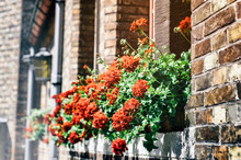 Old House Decorated With Red Geranium