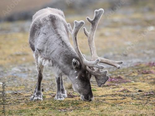 Foto op Aluminium Scandinavië WIld reindeer - Scandinavia