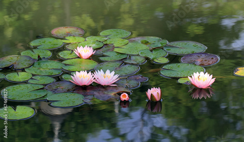 Aluminium Prints Water lilies lotus flower