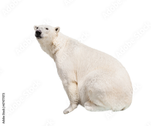 In de dag Ijsbeer White polar bear.