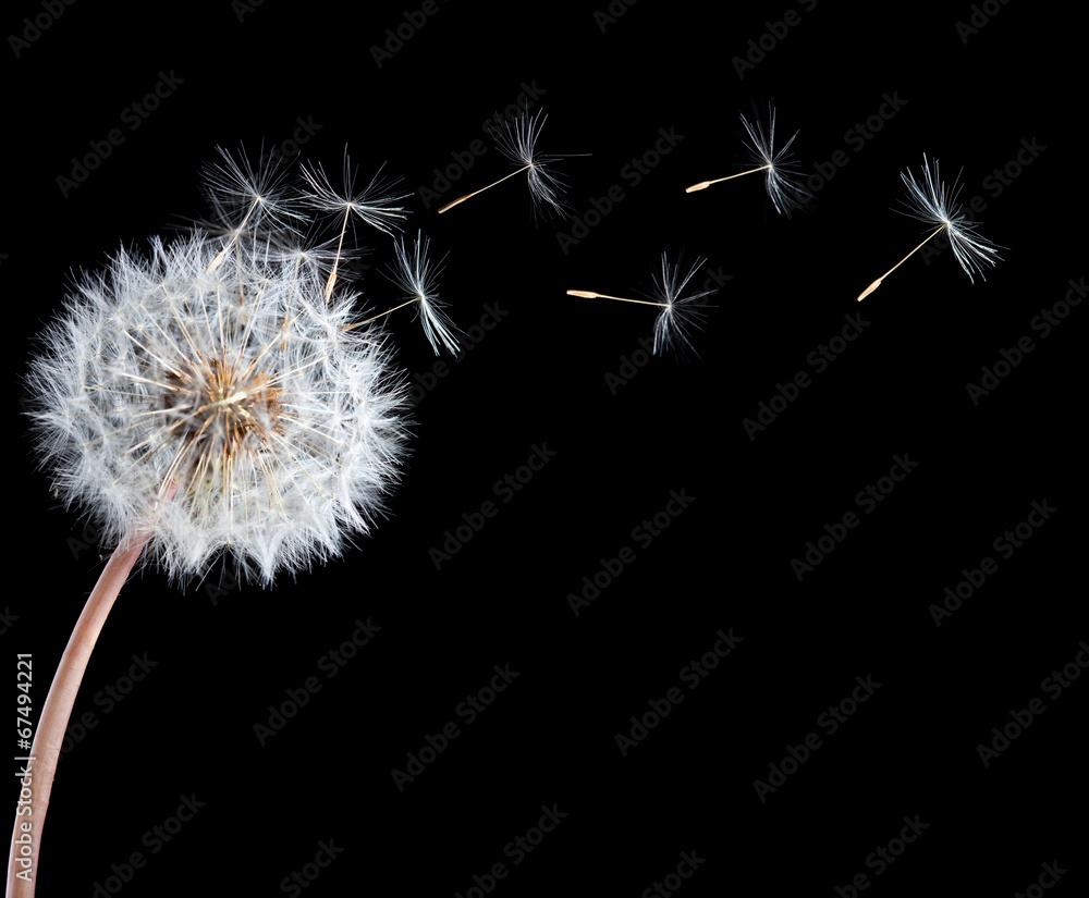 Fototapety, obrazy: Blowball of dandelion flower