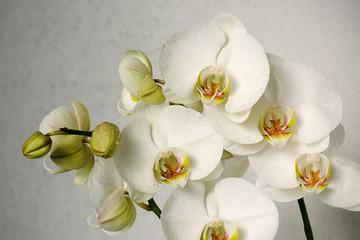 Fototapeta białych orchidei
