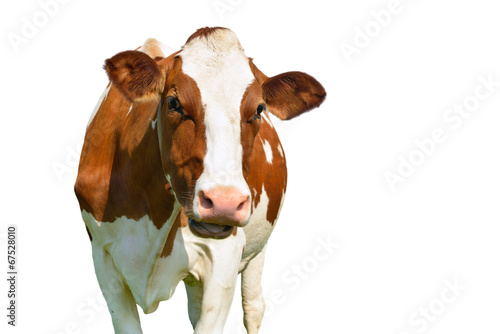 Recess Fitting Cow isolated cow