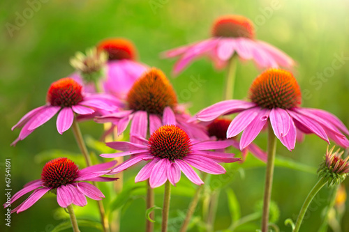 kwiaty echinacei