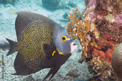 Angelfish Canvas Print