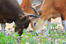 Banteng Or Red Bull In The Rainforest