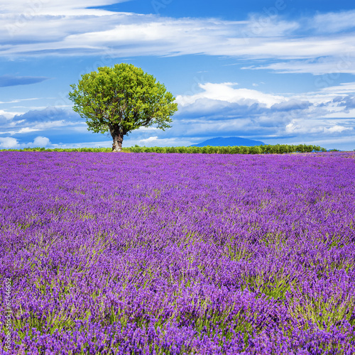 Lavender field with tree - 67546652