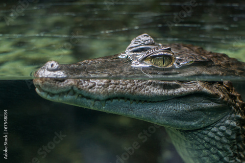Staande foto Krokodil coccodrillo