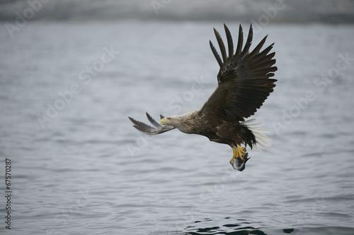 Garden Poster Eagle White-tailed Eagle