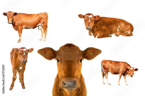 Valokuvatapetti calf