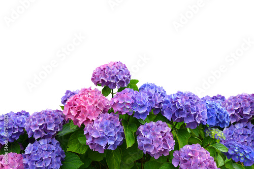Poster de jardin Hortensia hydrangea on white background