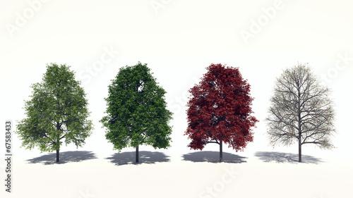 Photo Rot-Ahorn (Acer rubrum) Four Seasons