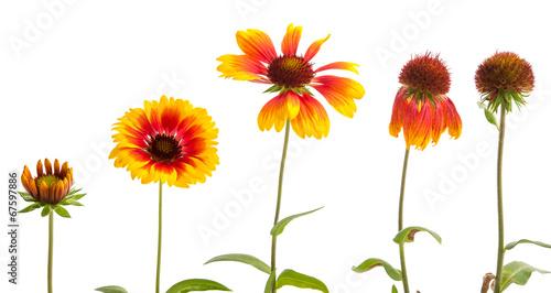Valokuva  Entwicklung einer Kokardenblume
