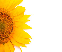 Sunflower Isolated On White Ba...