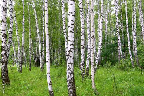 Beautiful birch of summer forest