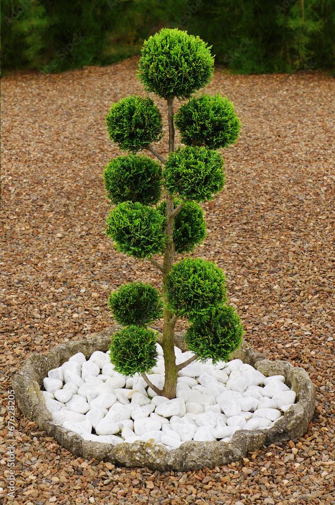 Foto auf Leinwand Kugelförmig geschnittene Zypresse im Japangarten ...