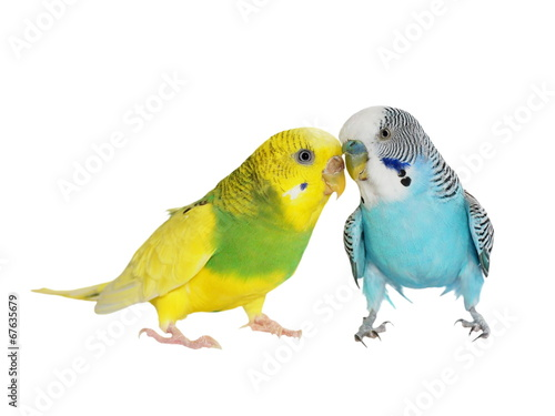 Fotografie, Obraz budgerigar isolated on white, (Melopsittacus undulatus), budgie
