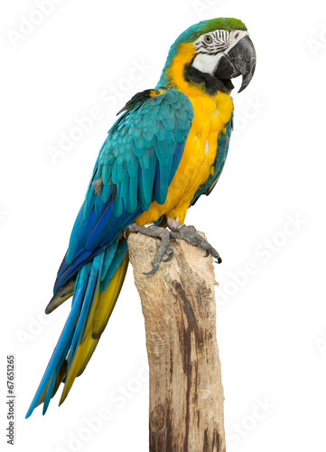 In de dag Papegaai Beautyful macaw bird isolated on white background, clipping path
