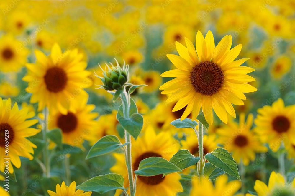 Fototapety, obrazy: Słonecznikowe pole