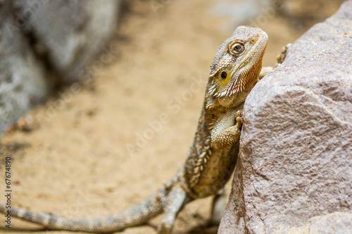 Armadillo Lizard - Buy this stock photo and explore similar images