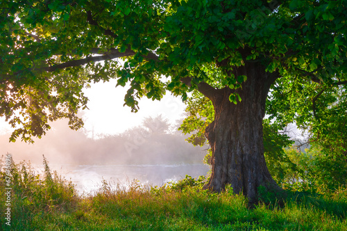Fotografía  Oak tree in full leaf in summer standing alone