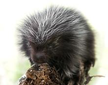 Backlit Baby Porcupine (Erethi...