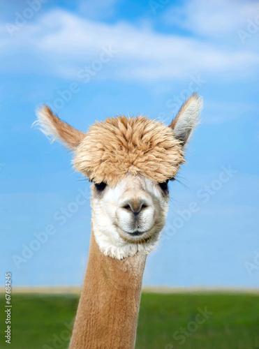 Poster Lama Alpaka Kopf auf Weide