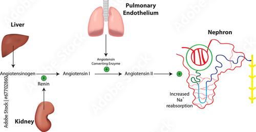 sistemul renina angiotensina aldosteron ciroza hepatică