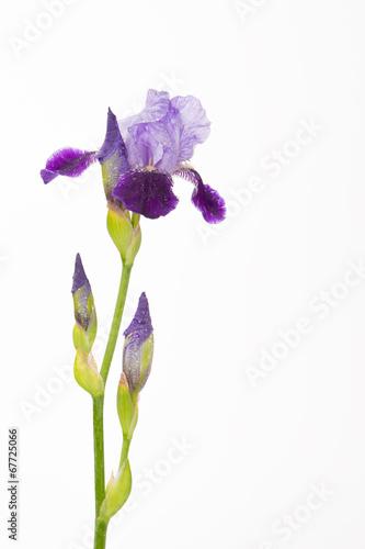 Foto op Canvas Iris purple iris flower