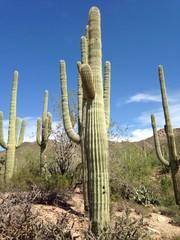Fototapeta Pustynia Piaszczysta cactus del deserto