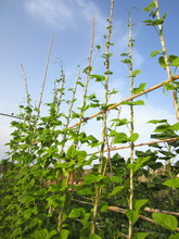 Runner Bean (Phaseolus Coccine...