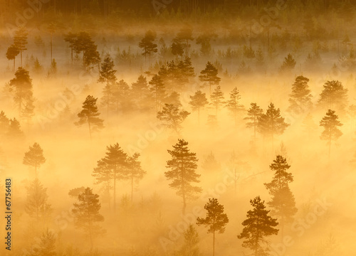 Foto op Plexiglas Meloen Misty Trees in the Morning