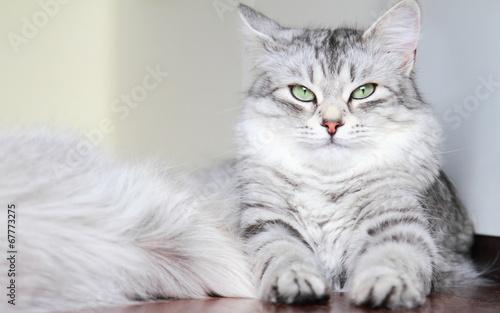 siberian cat, female silver type