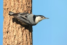 Nuthatch On A Tree