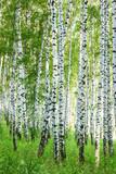 forest birch - 67786849