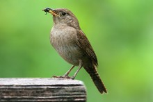 House Wren With A Worm