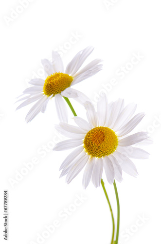 Fotobehang Madeliefjes The beautiful daisy isolated on white