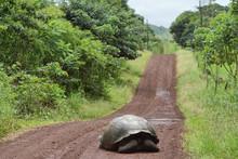 Giant Galapagos Tortoise In Santa Cruz Island