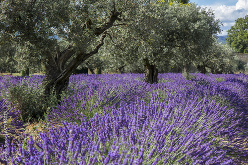 Photo Stands Lavender Champs de lavande Provence France