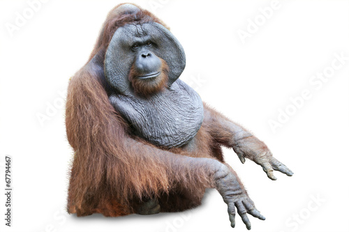 Foto op Aluminium Aap Orang utan sitting on white 2