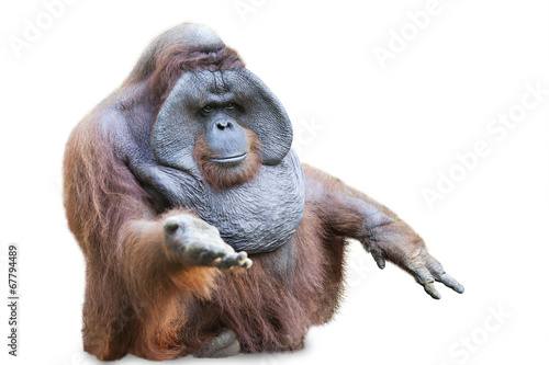 Foto op Aluminium Aap Orang utan sitting on white 3