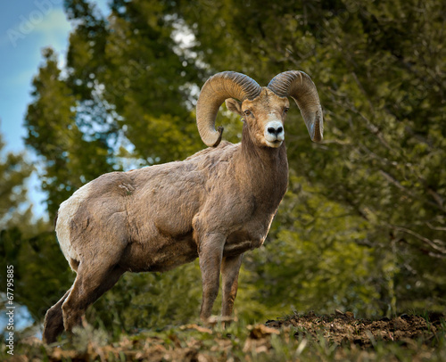 Fotografie, Obraz  Proud Big Horn Ram from below