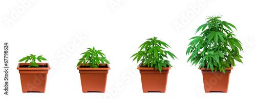 Fotografía Marijuana growing phase