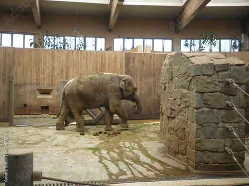 Indian elephant - zoological garden on Ostrava Poster