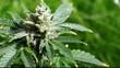 Marijuana plant closeup footage