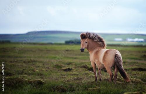Photo  Icelandic Horse