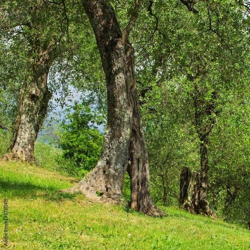 Olivenbaum Stamm - olive tree trunk 23 – kaufen Sie dieses